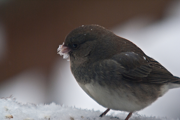 Junco In Snow Print by Douglas Barnett