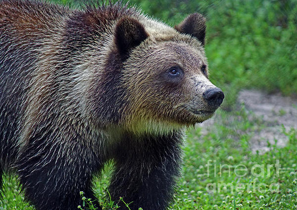 Larry Nieland - Juvie Grizzly
