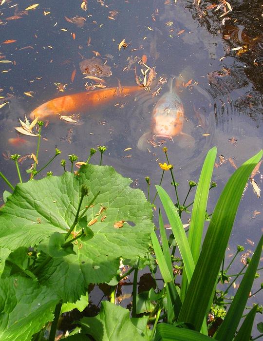 Koi fish life by valia bradshaw for Koi fish lifespan