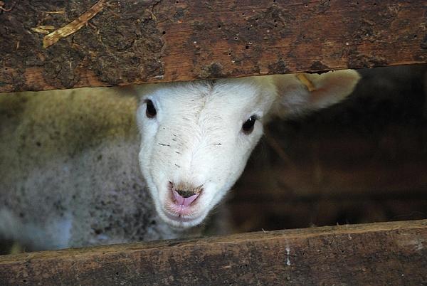 Lamb Print by Christy Majors