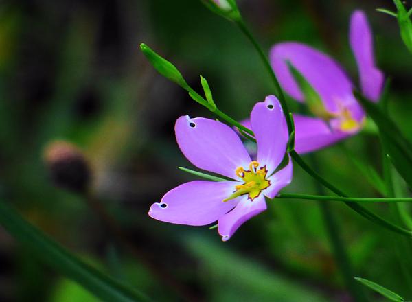 Rosalie Scanlon - Large Flowered Sabatia