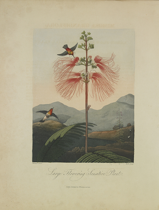 Large Flowering Sensitive Plant Print by Robert John Thornton