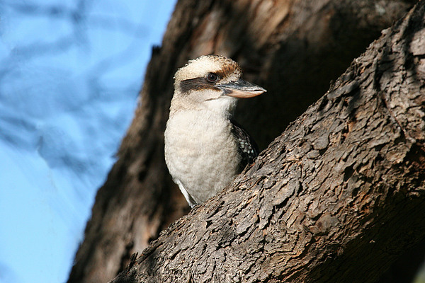 Laughing Kookaburra Print by Tony Brown