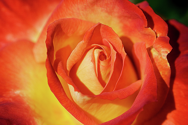 Life Is Like A Rose Peeping Through The Hardships Of Life To Bloom With Color Print by Fir Mamat