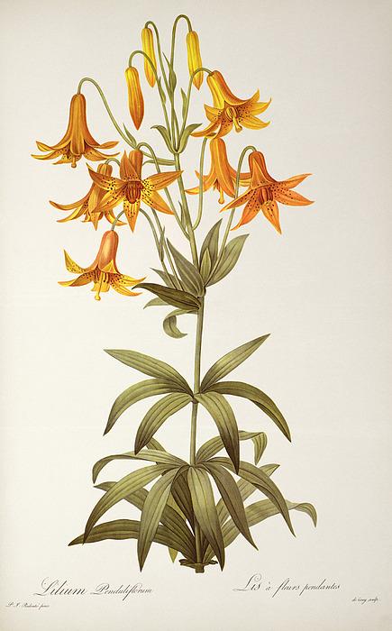 Lilium Penduliflorum Print by Pierre Joseph Redoute