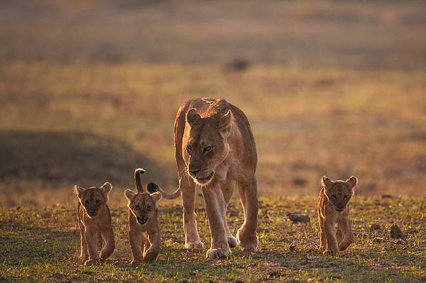 Johan Elzenga - Lion family