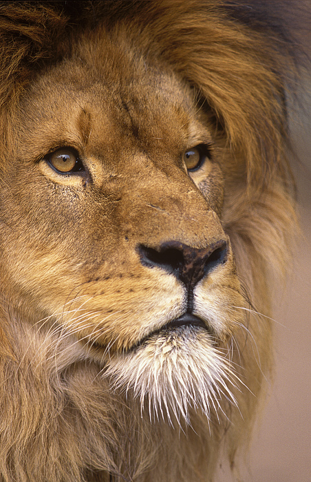 Johan Elzenga - Lion portrait