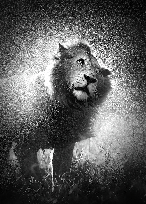 Lion Shaking Off Water Print by Johan Swanepoel