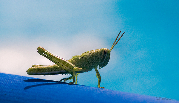 Little Grasshopper Print by Christopher Holmes