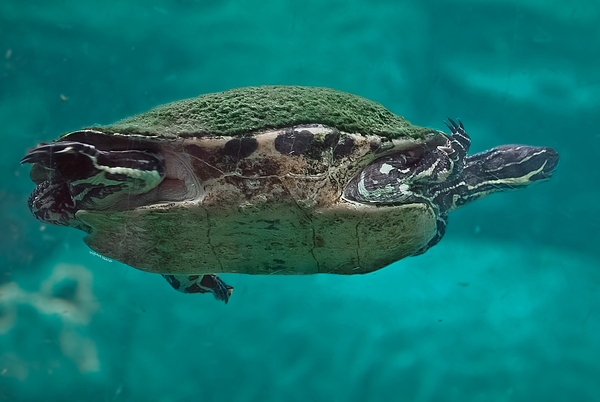 Loggerhead Plastron Print by DigiArt Diaries by Vicky B Fuller