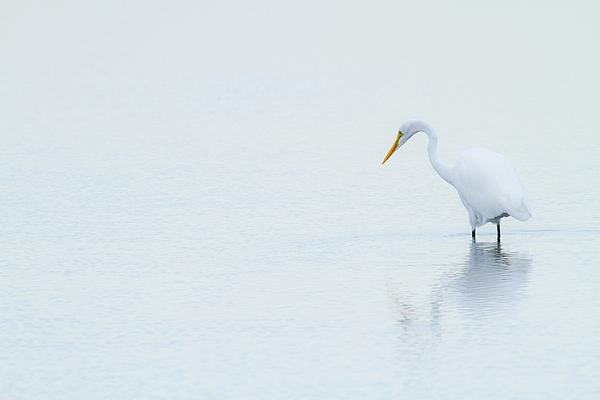 Lonely Egret Print by Karol  Livote