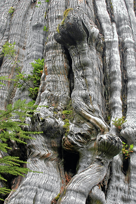Long Views - Giant Western Red Cedar Olympic National Park Wa Print by Christine Till