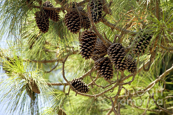 Longleaf pine cones by inga spence for Long pine cones