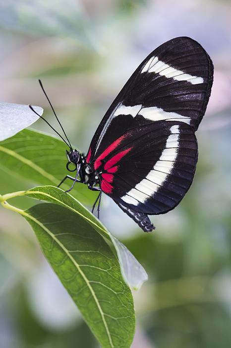 Bruce Frye - Longwing Butterfly