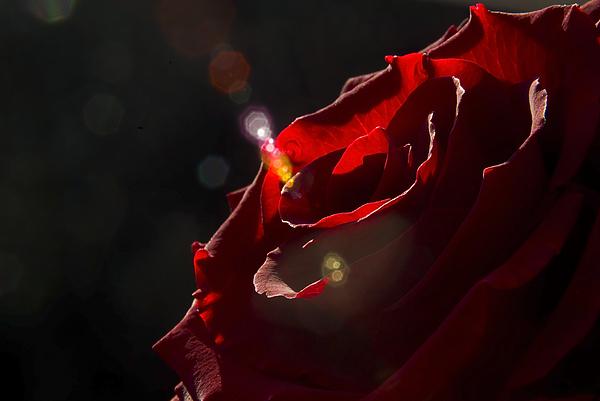 Love Rose Print by Svetlana Sewell