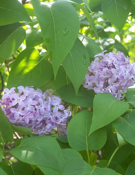 Lovely Lilacs 2 Print by Anna Villarreal Garbis