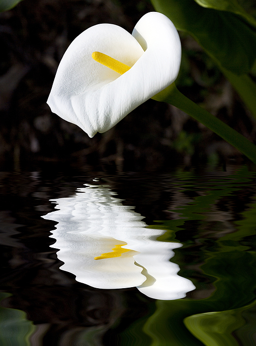Madonna Lily Reflection Print by Sheila Smart