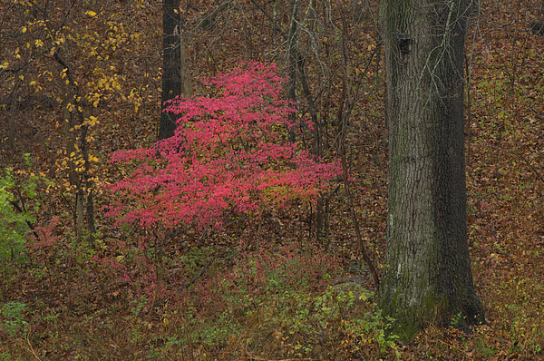 Magenta Tree In Woods Print by Don Wolf