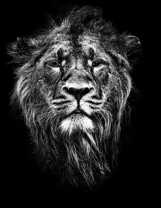 Male Asiatic Lion Print by Meirion Matthias