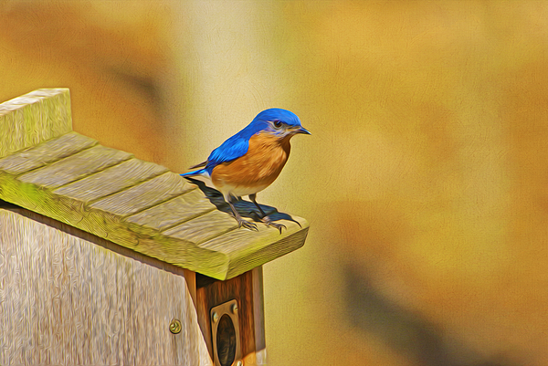 Laura D Young - Male Blue Bird Guarding House