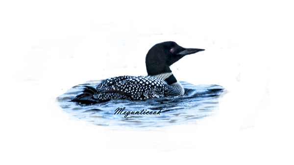 Male Mating Common Loon Shower Curtain For Sale By Daniel