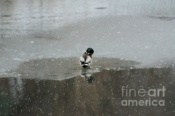 Mallard duck drake in snow storm print by merrimon crawford