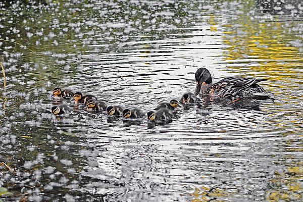 Asbed Iskedjian - Mallard Ducklings in formation with Mommy