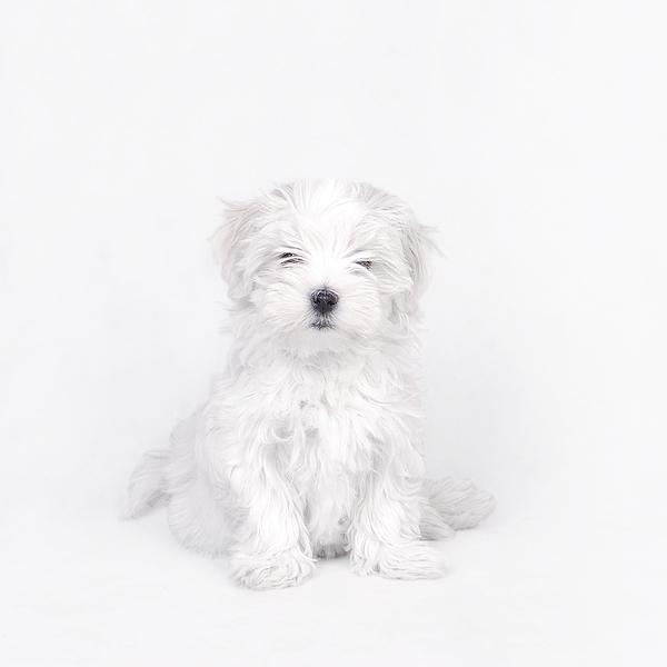 Maltese Dog Puppy Print by Waldek Dabrowski