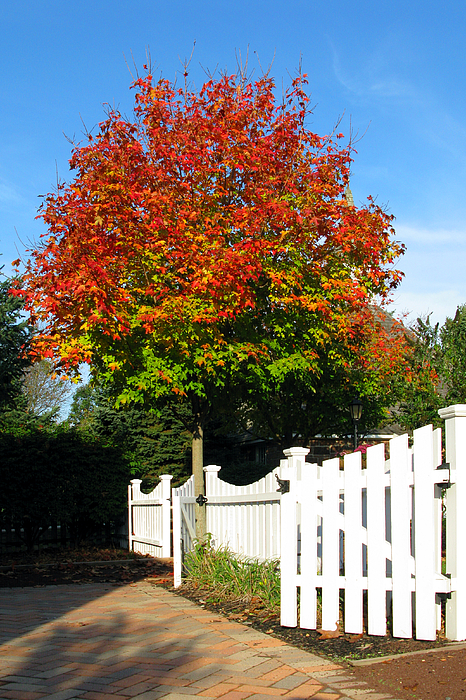 Maple And Picket Fence Print by Olivier Le Queinec