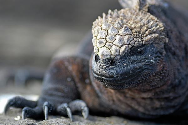 Marine Iguana Print by Sami Sarkis