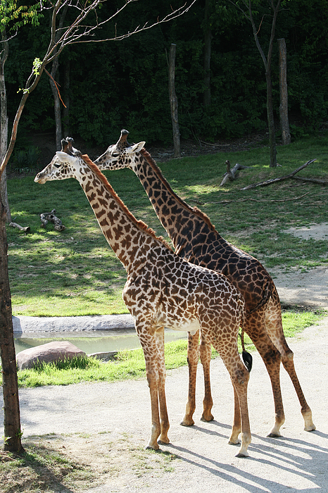 Judy Whitton - Masai Giraffe #2