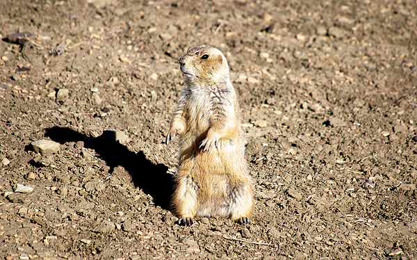 Mean Old Prairie Dog Print by Christopher Wood