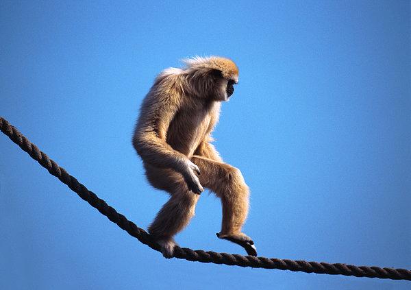Monkey Walking On Rope Print by John Foxx