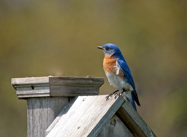 Mr Blue Bird Print by Robert Pearson
