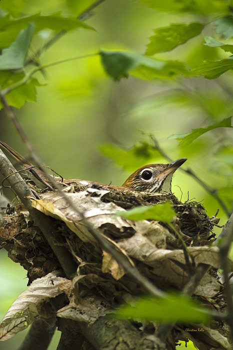 Nesting Birds - Wood Thrush Print by Christina Rollo