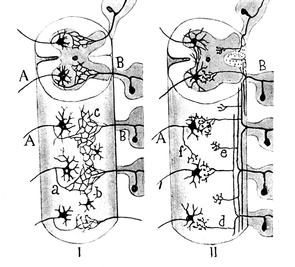 Neuroglia Cells Illustrated By Cajal Print by Science Source