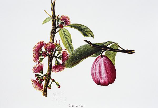 Ohiaai Print by Hawaiian Legacy Archive - Printscapes