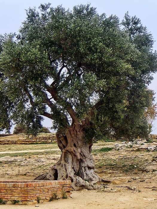 Olive Tree Sicily Print by Lutz Baar