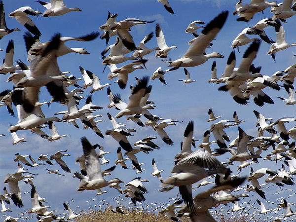 On A Mission Bosque Del Apache Print by Kurt Van Wagner