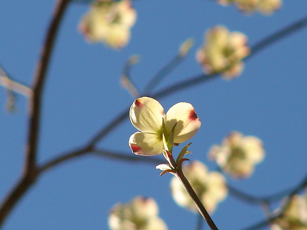 One Dogwood Blooms Print by Laura Brightwood