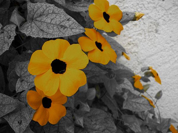 Orange Black Eyed Susan Print by Flower Bomb