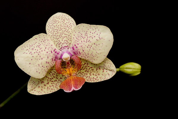 Michelle Neacy - Orchid on black