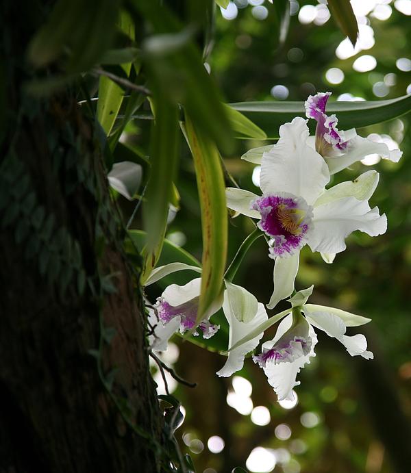 Orchids Print by Deborah Molitoris