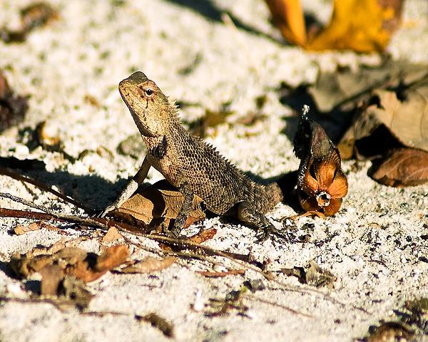 Oriental Garden Lizard A Dragon In The Maldives Print by Chris Smith