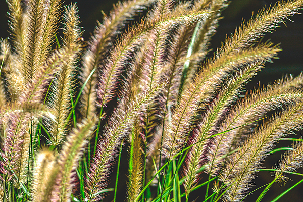 Ornamental grass feathery plumes by black brook photography for Ornamental grasses with plumes