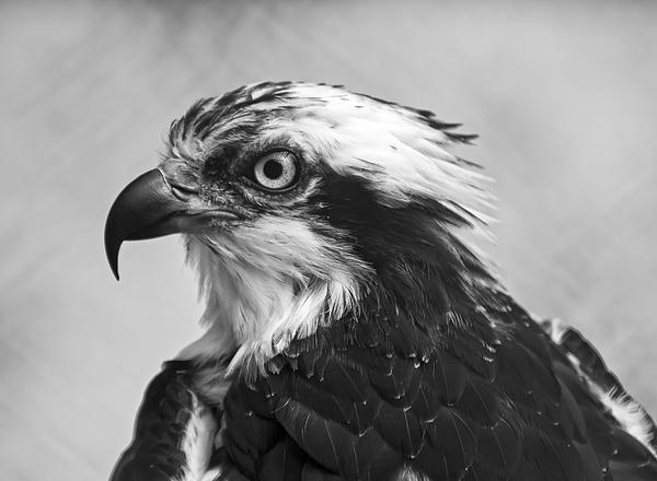 Chris Flees - Osprey monochrome portrait