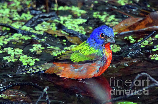 Larry Nieland - Painted Bunting After Bath