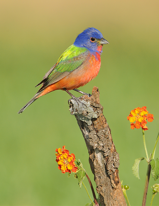 Painted Bunting Print by Scott  Linstead