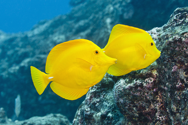 Coral reef fish yellow - photo#11