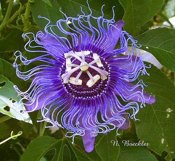 Norma Boeckler - Passion Flower